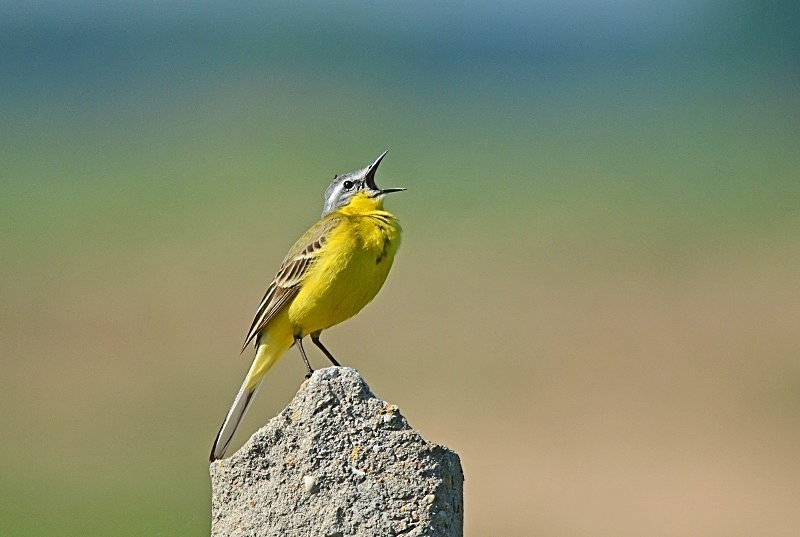 May 2013 - Blue-headed Wagtail - Photos of the month