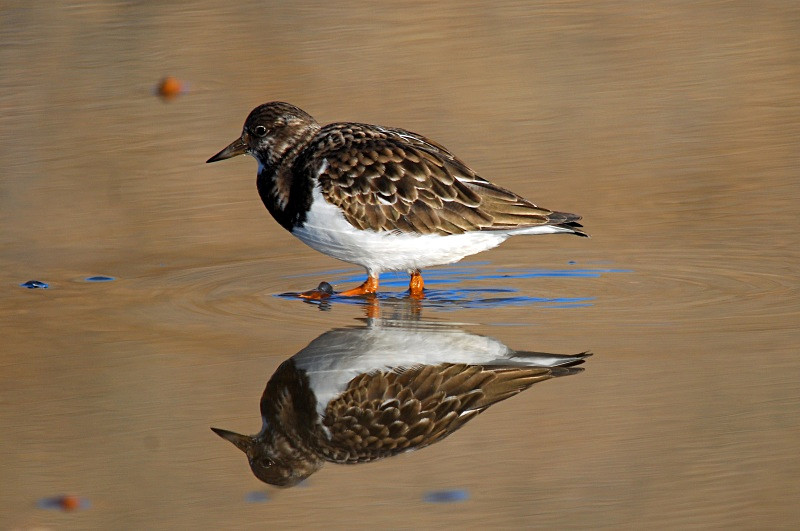 November 2010 - Turnstone - Photos of the month