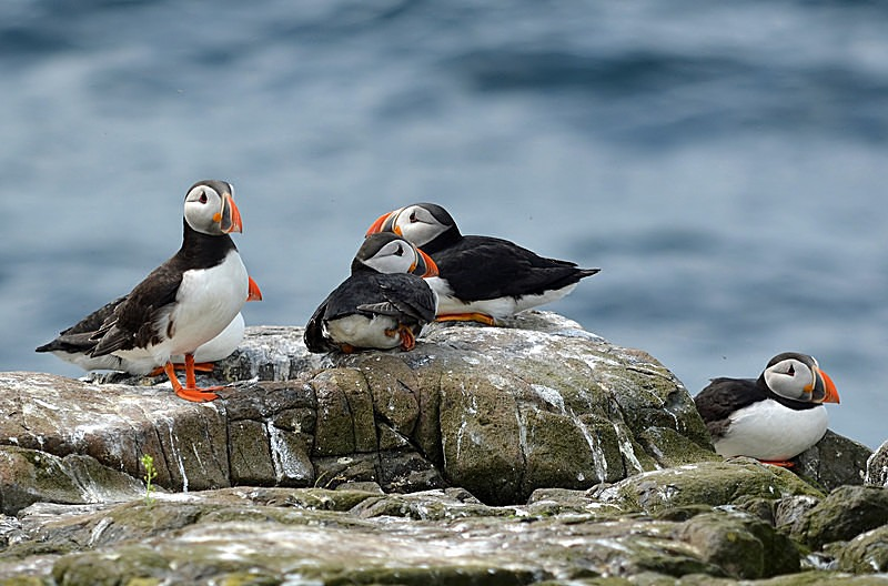 June 2014 - Puffins - Photos of the month