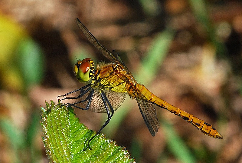 July to August 2010 - Ruddy Darter - Photos of the month