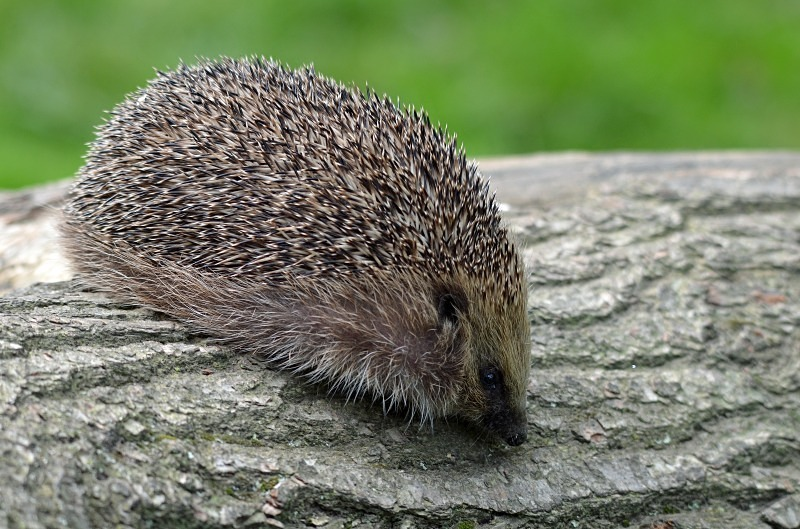 Hedgehog - Hedgehog