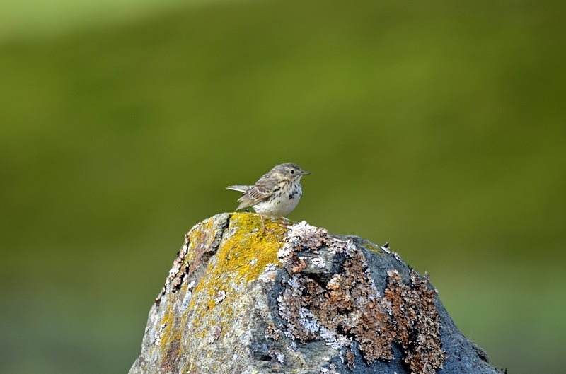 Meadow Pipit - Pipits