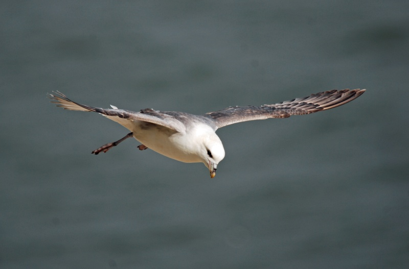 May 2009 - Fulmar - Photos of the month