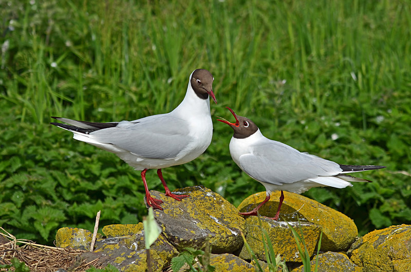 Black-headed Gulls - Gulls