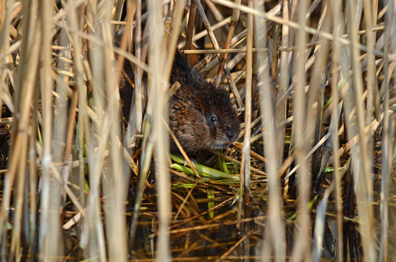 April 2015 - Water Vole - Photos of the month