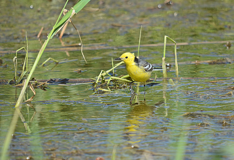 May to June 2016 - Citrine Wagtail - Photos of the month