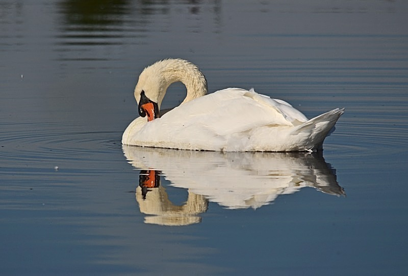 September 2012 - Mute Swan - Photos of the month