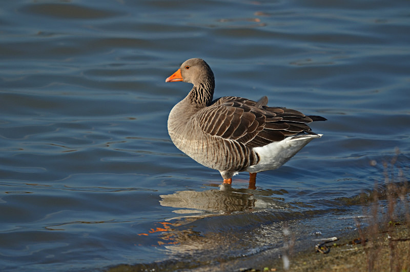 February 2015 - Greylag Goose - Photos of the month