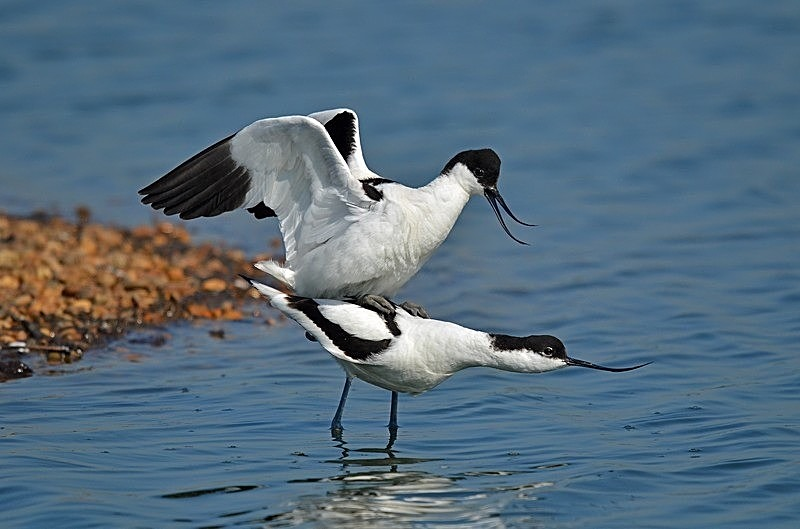 April 2017 - Avocets - Photos of the month