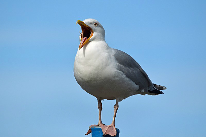 May 2014 - Herring Gull - Photos of the month