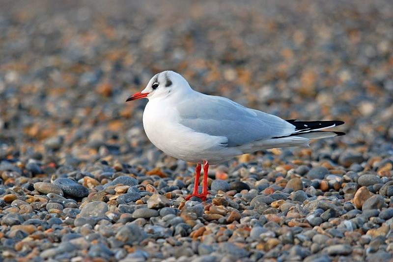 Black-headed Gull - Gulls