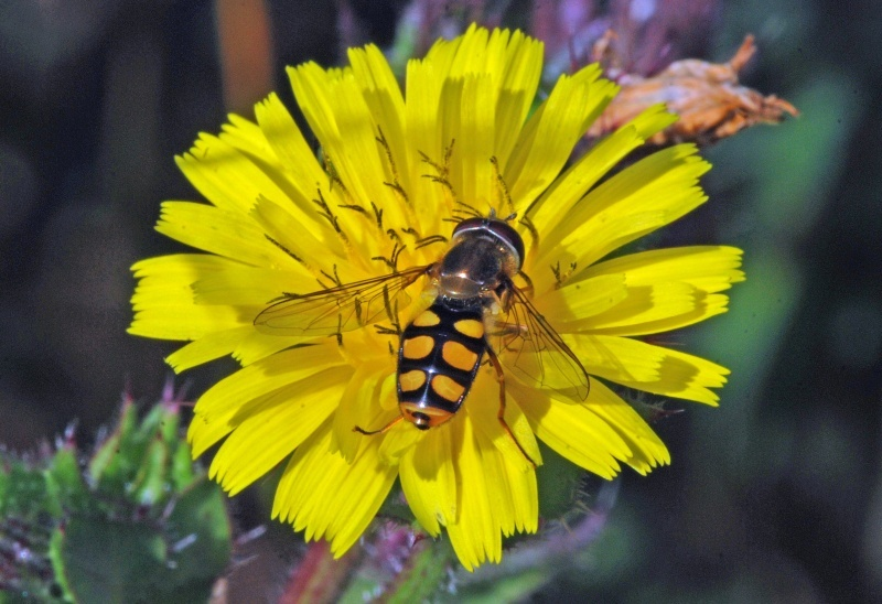 August 2009 - Hoverfly species - Photos of the month