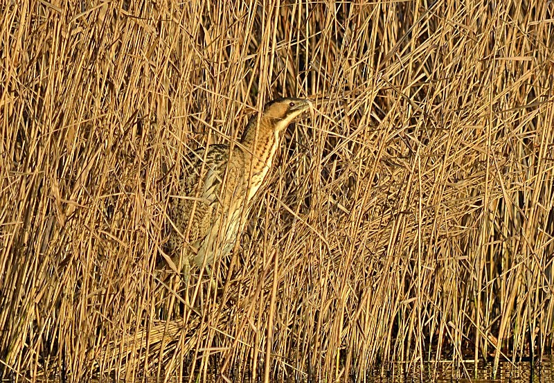 January to March 2017 - Bittern - Photos of the month