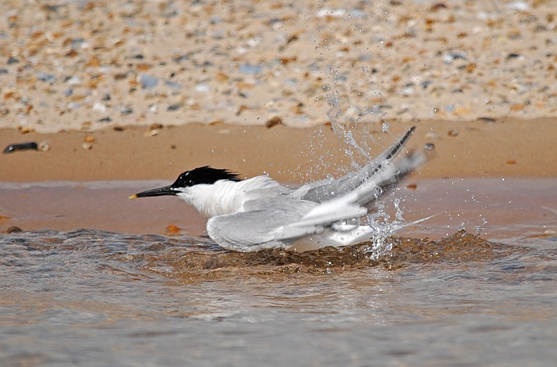 July 2009 - Sandwich Tern - Photos of the month