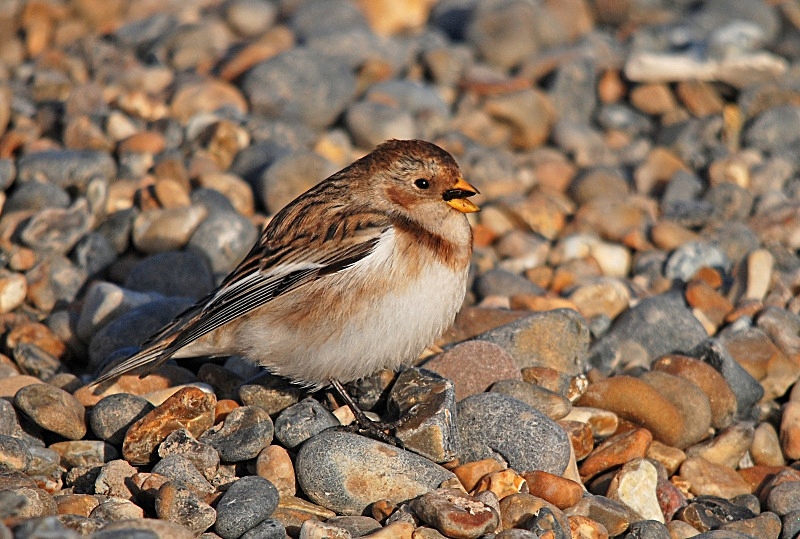March 2010 - Snow Bunting - Photos of the month