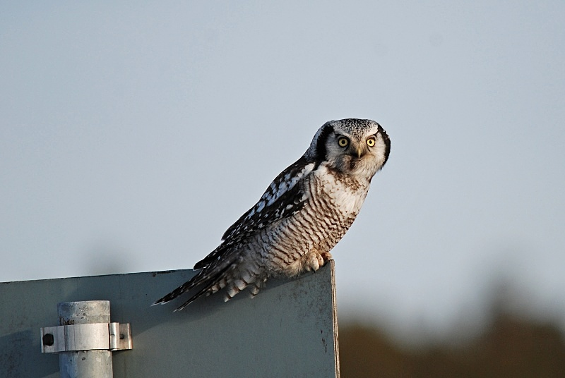 April 2010 - Northern Hawk Owl - Photos of the month