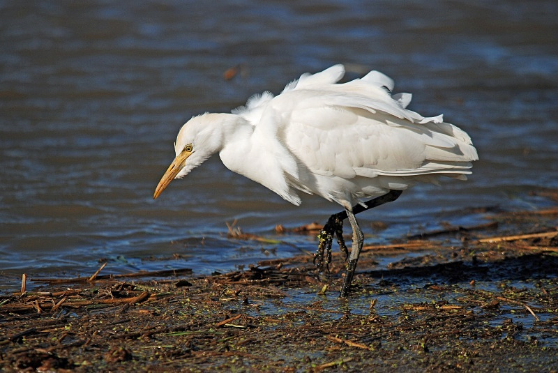 November 2009 - Cattle Egret - Photos of the month
