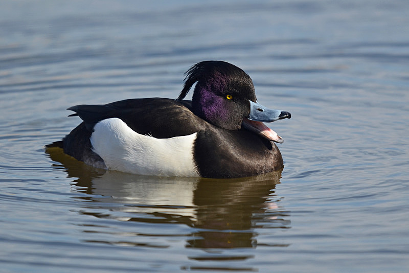 March 2015 - Tufted Duck - Photos of the month
