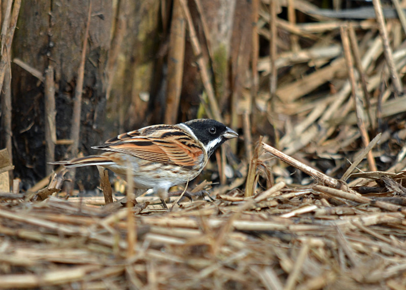 February 2016 - Reed Bunting - Photos of the month
