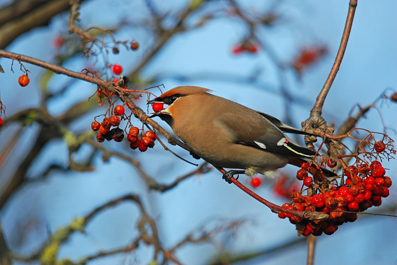 December 2010 - Waxwing - Photos of the month