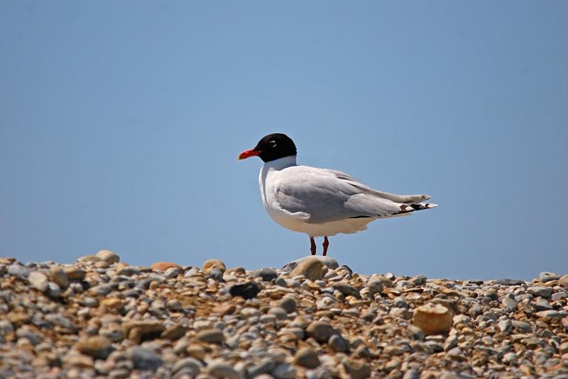 Mediterranean Gull - Gulls