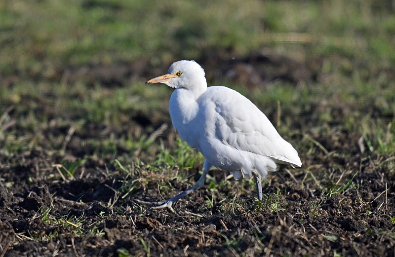October to December 2014 - Cattle Egret - Photos of the month