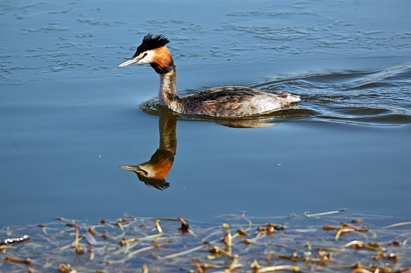 Great Crested Grebe - Grebes