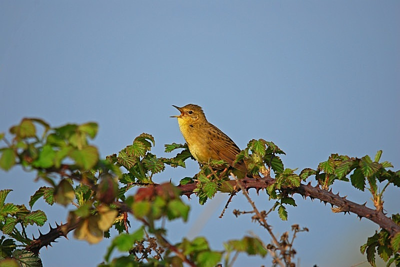 April 2011 - Grasshopper Warbler - Photos of the month