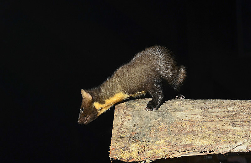 September to October 2016 - Pine Marten - Photos of the month