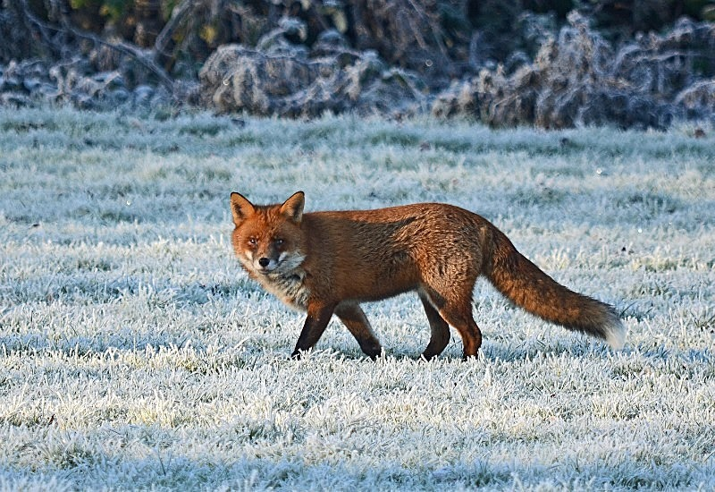December 2016 - Red Fox - Photos of the month
