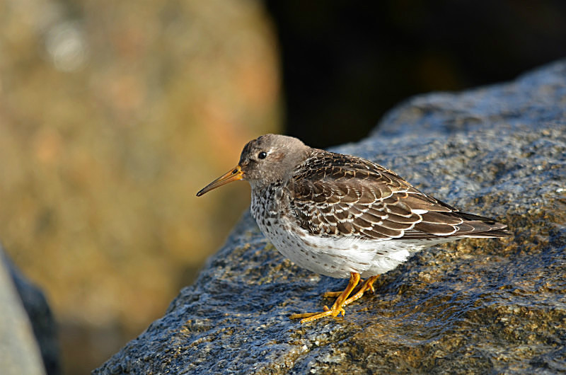 November 2016 - Purple Sandpiper - Photos of the month