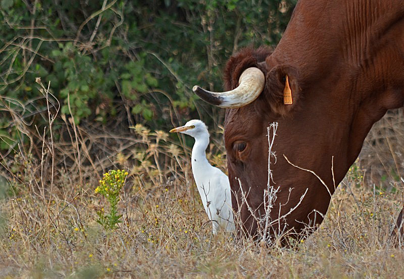 September 2013 - Cattle Egret - Photos of the month
