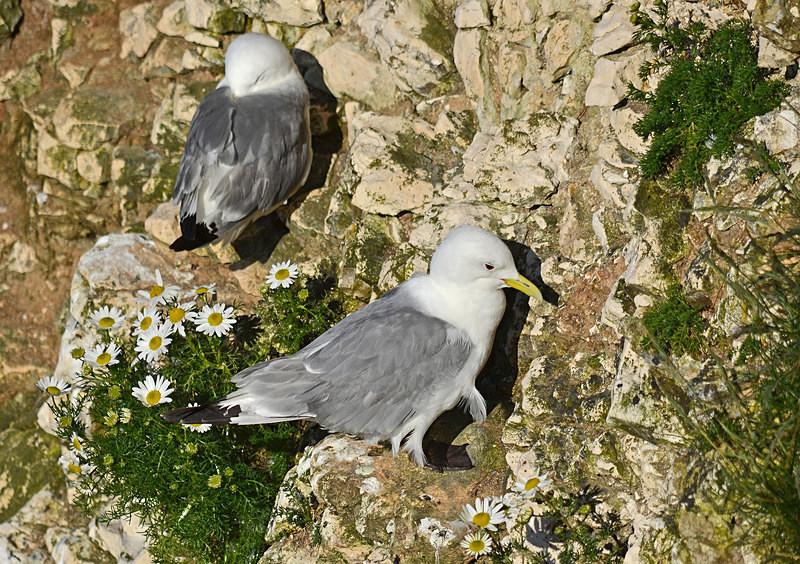 Kittiwakes - Gulls