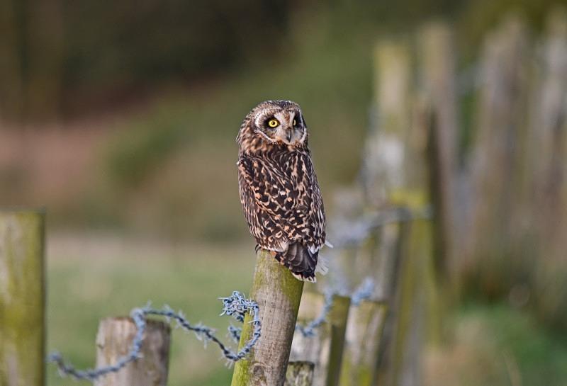 Short-eared Owl - Owls