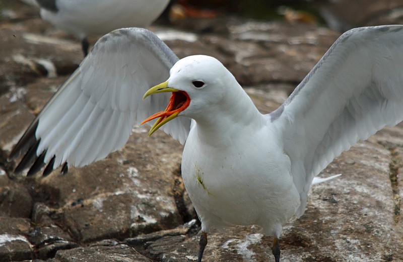 Kittiwake - Gulls