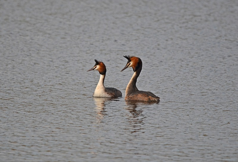 Great Crested Grebes - Grebes