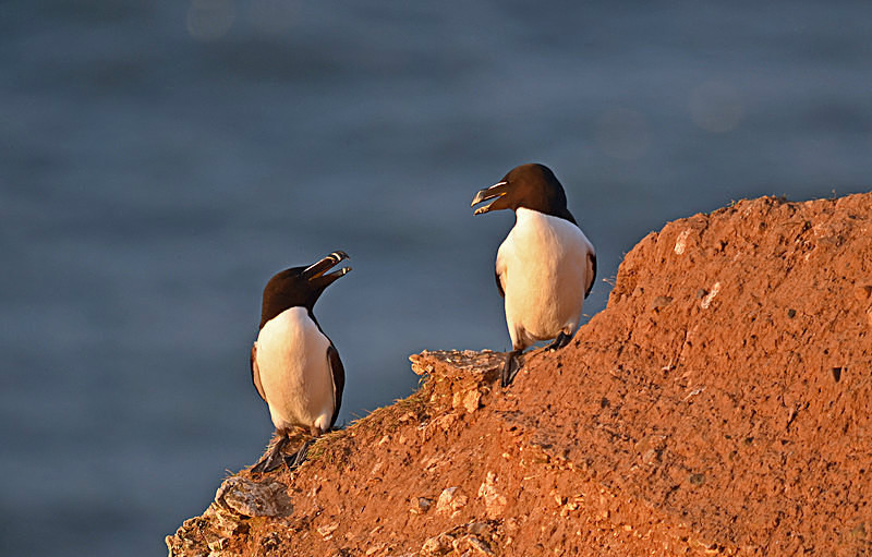 July 2015 - Razorbills - Photos of the month