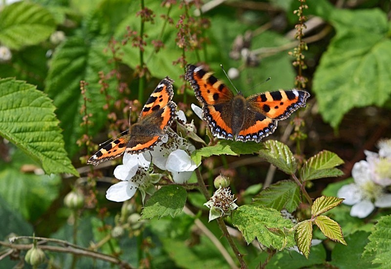 July to August 2013 - Small Tortoiseshells - Photos of the month