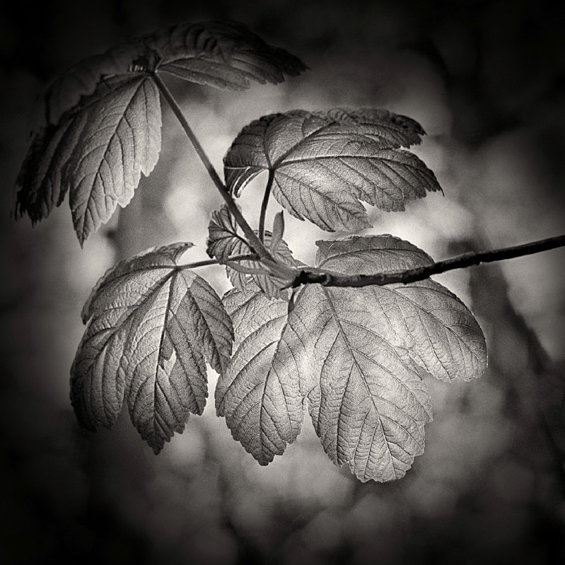 Back Lite Leaf in Black & White - Abstract & Still Life