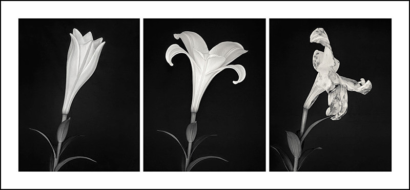 Life Cycle of a Lily, Triptych - Panoramic
