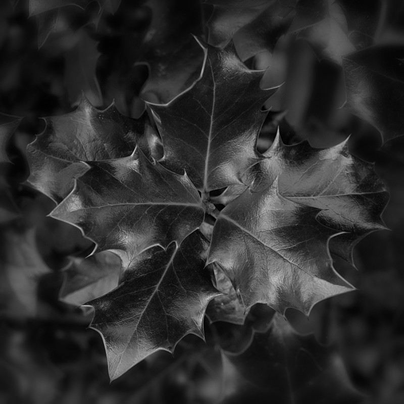 Holly Leaves in Black and White Otley - Abstract & Still Life