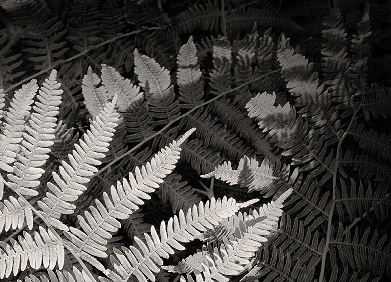 Fern  Leaves Abstract in Black and White - Abstract & Still Life