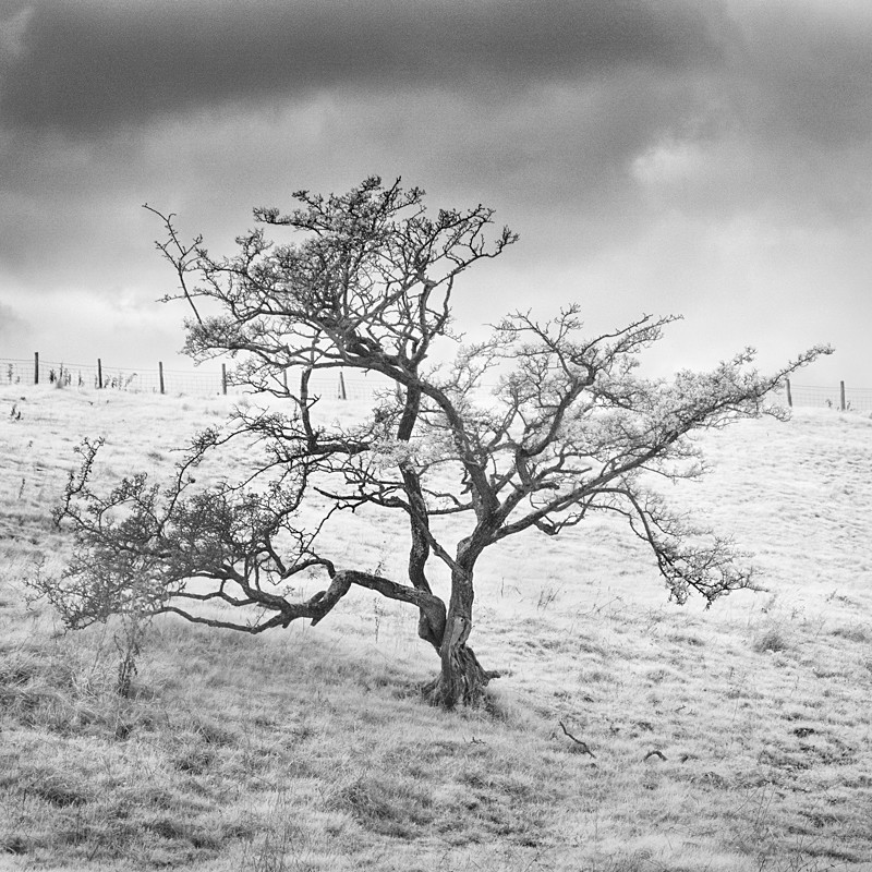 Tree, Infrared (square format) - Infrared