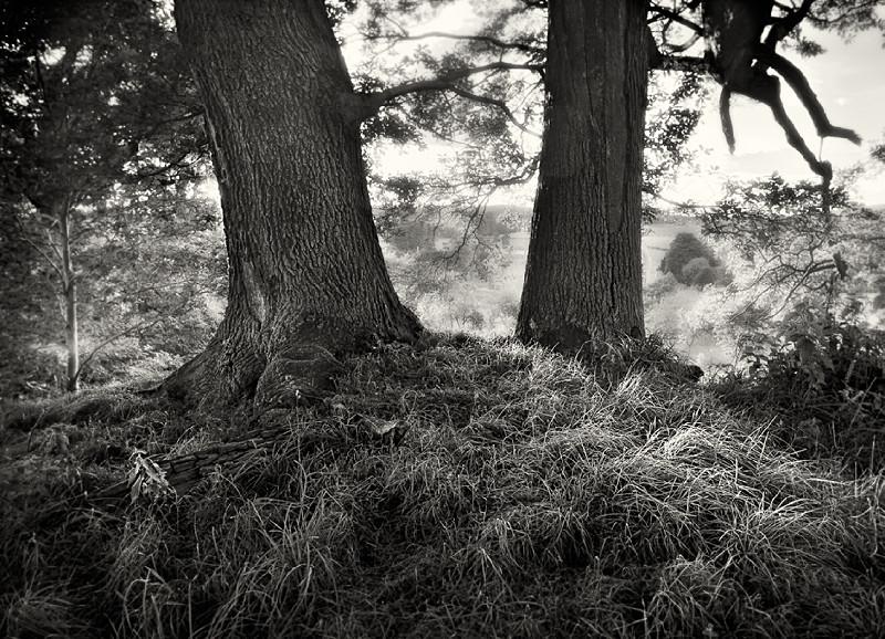 Might Oak Trees Fine Art Photograph