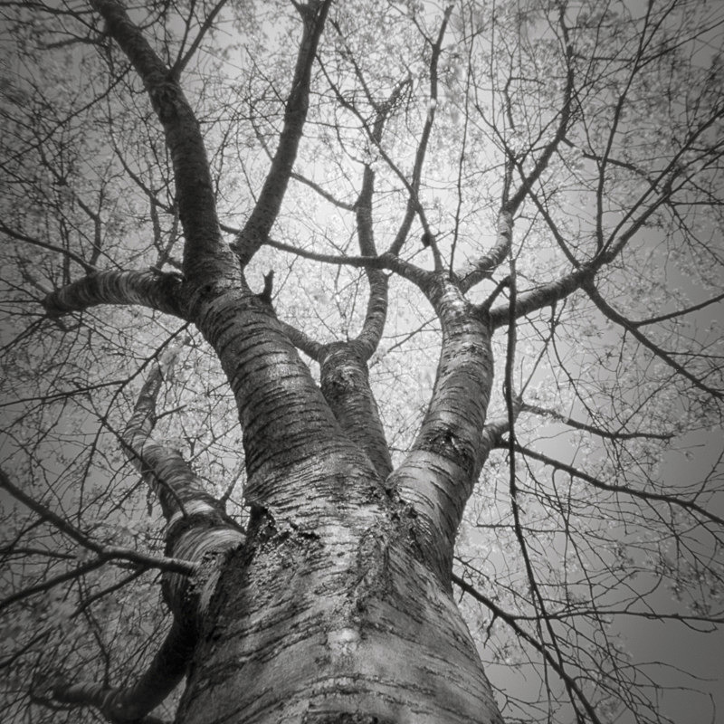 Looking Up #3 (Pinhole square format) - Looking up