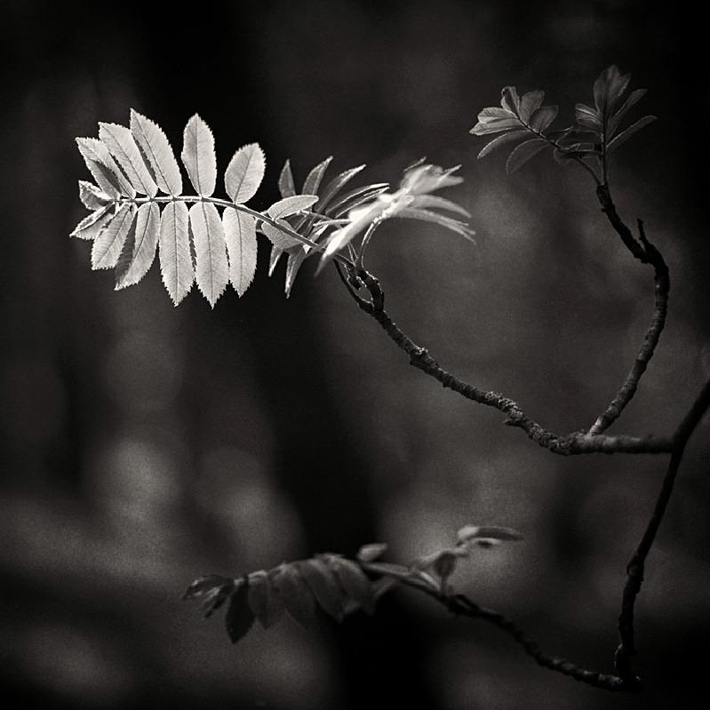 Spring leaf shoots