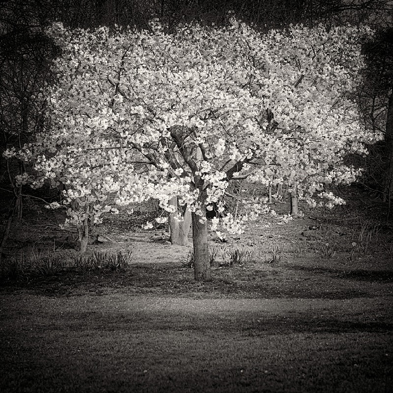 Blossom Tree Fim Photograph
