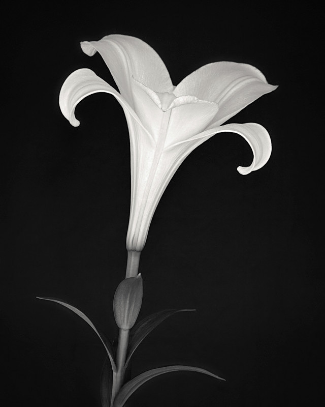 Lily Study 3 - Abstract & Still Life