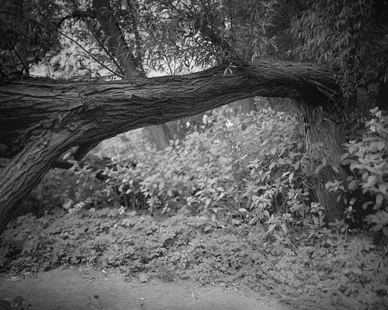 Crack Willow - Landscapes