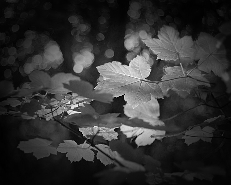 Catch Light on Leaves in Black and White - Abstract & Still Life
